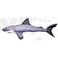Акула Большая